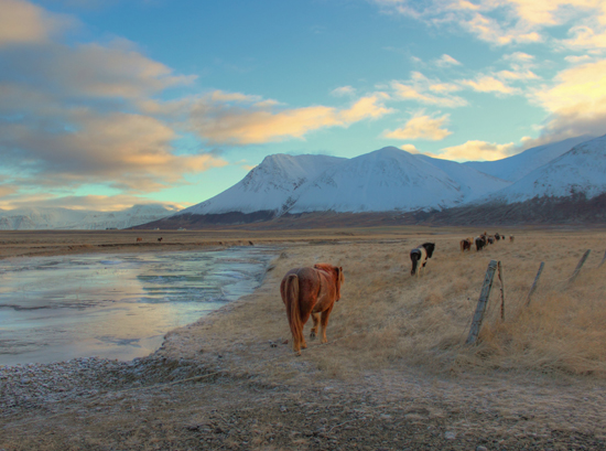Horses in Northern Iceland